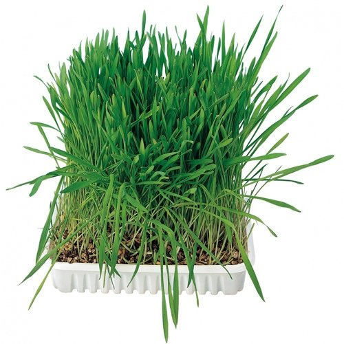 Tavita de plastic cu seminte de iarba 100g